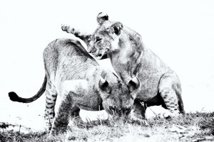 Lion Play at Selinda Explorers Camp (C) Great Plains Conservation