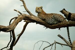 _Copyright_Beverly_Joubert_SelindaExploreres_Wildlife_Botswana_4539