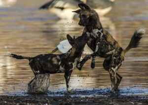 Two Wild Dogs (Lycaon pictus) play in the shallow water.